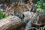 Female Jaguar with young cub (estimate 5 months old), resting on a fallen tree over the Cuiaba River. Porto Jofre, Northern Pantanal, Mato Grosso State, Brazil.