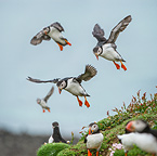 Atlantic Puffins flying on to the cliff top and gathering around burrows. Isle of Lunga, Treshnish Isles, Isle of Mull, Scotland.
