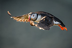 Atlantic Puffin flying aound cliff top. Isle of Lunga, Treshnish Isles, Isle of Mull, Scotland.