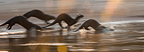 Giant Otters running along the shore of the Paraguay River, Taiama Reserve, western Pantanal, Brazil.