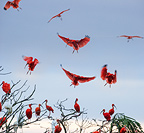 Scarlet Ibis flying into roost site at dusk. Hato La Aurora Reserve, Los Llanos, Colombia.