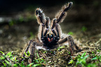 Colombian Pink-toed Tarantula in aggressive / defensive posture on forest floor. Paujil Nature Reserve, Magdalena Valley, Colombia.
