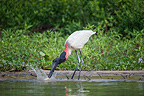 Jabiru Stork catching a fish (Pacu) on the edge of the Paraguay River. Taiama Ecological Reserve, Pantanal, Brazil.