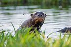 Giant Otter in a lagoon off the Paraguay River, Taiama Reserve, western Pantanal, Brazil.