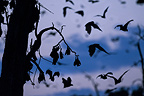 Straw-coloured Fruit Bats returning to their daytime roost pre-dawn (before sunrise). Kasanka National Park, Zambia.