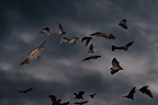 Straw-coloured Fruit Bats leaving thier roost site at dusk. Kasanka National Park, Zambia.