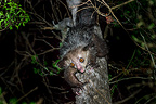 Female Aye-aye foraging in the middle canopy / understorey of dry deciduous forest at night. Forests near Andranotsimaty, Daraina, northern Madagascar.