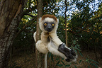 Verreaux's Sifaka, Berenty Private Reserve, southern Madagascar.