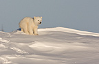 Baby polar bear newly emerged from the den, Wapusk National Park, Manitoba, Canada.