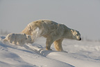 Polar bear mother and twins newly emerged from the den, Wapusk National Park, Manitoba, Canada.
