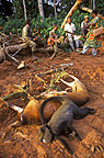 Game (Bushmeat) shot in forest for the sale on the Congo markets, Africa