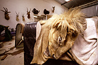 Taxidermist in Namibia