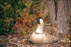Hawaiian Goose saved by reproduction in captivity