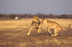 African Lions playing, Rehabilitation Farm, Namibia
