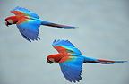 Red-and-green Macaws in flight, Tambopata, Amazonia, Peru