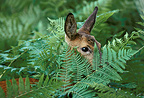 Roe Deer female hidden behind ferns, France