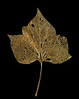 Common Ivy leaf