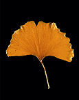 Ginkgo biloba leaf in autumn