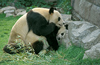 Giant pandas mating, Beijing Zoo, China