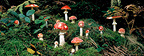 Fly agaric Brasparts, Brittany, France
