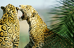 Jaguars communicating, Brazil