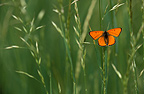 Large Copper butterfly on a blade of grass
