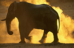 African elephant escaping from a wildfire, Zimbabwe
