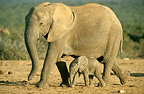 African elephant and calf, South Africa