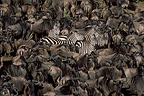Wildebeest and Grant's zebras migrating, East Africa