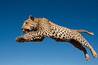 Leopard jumping, Rehabilitation Farm, Namibia