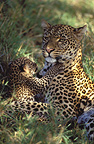 Female leopard and six week old cub, Masai Mara, Kenya