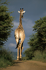 Giraffe walking away along a dirt track, Africa