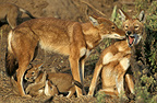 Abyssinian wolves (Simian jackal) and cubs, Ethiopia