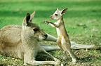 Female Eastern Grey Kangaroo and joey, Cania Gorge National Park, Queensland, Australia