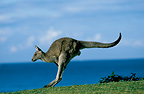Eastern Grey Kangaroo, New South Wales, Australia