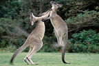 Eastern Grey Kangaroos fighting, Australia