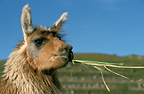 Lama eating a tuft of grass, Peru