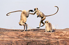 Hanuman (Northern plains) grey langurs playing, Rajasthan Desert, India