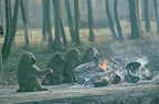 Chacma baboons warming up around a fire, Africa