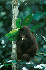 Young orangutan taking shelter from the rain under a leaf, Borneo