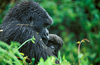 Mountain gorillas and young, Volcanoes National Park, Rwanda