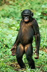 Bonobo standing on its hind legs, DR Congo