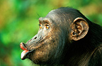Female chimpanzee pant-hooting, Gabon