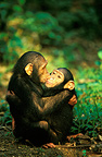 Young chimpanzees comforting each other after stress, Gabon