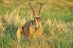 European hare eating in the grass, France