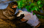 Giant otter eating a fish, Pantanal, Brazil