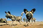 African wild dogs, Rhino And Lion Nature Reserve, South Africa