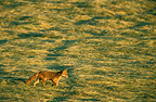 Red fox walking in a mown meadow, Lorraine, France