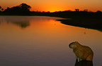 Capybara at sunset, Pantanal, Brazil