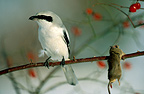 Great Grey Shrike with its prey impaled on a thorn